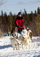 Man, musher running, driving a dog sled, team of sled dogs, two white leaders, lead dogs, Alaskan Huskies, Yukon Territory, Canada