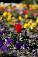 Flowering beds of spring flowers with a bright red Waterlily tulip (Tulipa kaufmanniana)