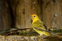 Bird, canário_da_terra, Ilha do Mel, Encantadas, Paraná, Brazil