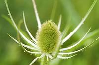 Closeup of a green Teasel Bloom