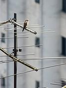 Bird, bird, Falco Sparverius, Peruche, São Paulo, Brazil