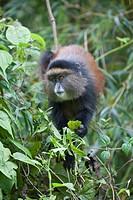 Golden Monkey, Cercopithecus kandti, in bamboo forest, Rwanda