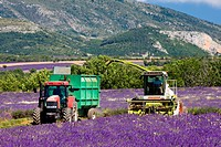 lavender harvest, Alpes-de-Haute-Provence Departement, France