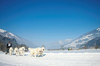 Musher mushing his samojede huskies at sleddog race in Lenk, Switzerland, Europe