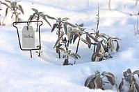 Sage (Salvia officinalis) in snow