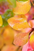 BERBERIS THUNBERGII _ AUTUMN LEAVES