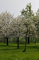 Cherry trees in April, Georgsmarienhütte