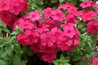 PHLOX POWERPHLOX HOT PINK