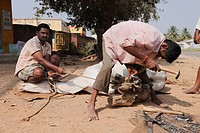 Ox being shoed with horseshoes, near Mysore, Karnataka, South India, India, South Asia, Asia