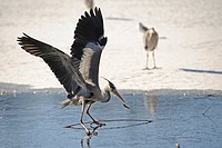 Grey Heron Ardea cinerea on thin ice with caught fish