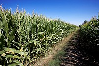 Maize field  LLeida  Spain