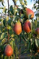 Pears Deboe on a tree  LLeida  Spain