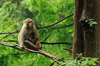 rhesus macaque with young on tree in Wulingyuan National Park in Hunan province of China
