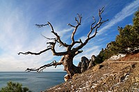 lonely tree at blue bay on crimea in winter