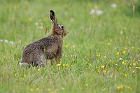 Brown Hare (Lepus europaeus) in the moor, taking cover, Germany