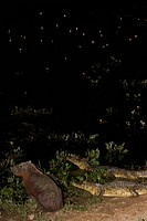 Yacare Caimans and Capybara _ night