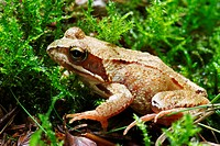 Common Frog / Rana temporaria