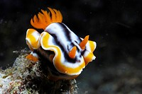 Nudibranch Chromodoris magnifica  Lembeh Strait, Celebes Sea, North Sulawesi, Indonesia