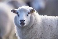 Suffolk sheep - Ovis aries - UK.