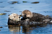 Sea otters are fully protected by U.S. federal law. Mother and young in kelp bed