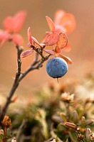 Blueberries growing amid the fall tundra in Alaska