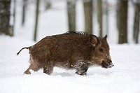 Wild boar Sus scrofa in the snow