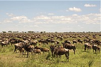 Large Wildebeest herd on Serengeti plains, Tanzania
