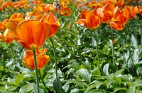 Field of orange tulips