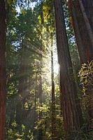 Redwood Forest of Muir Woods National Monument.