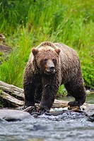 Close up portrait of an adult Brown Bear fishing for salmon in the Russian River, Kenai Peninsula, Southcentral Alaska, Summer
