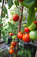 Tomato plant growing in garden