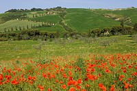 Poppies and farmland, La Foce, Italy