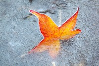 Fall leaf in a frozen stream