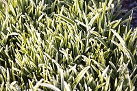 Blades of grass covered in frost