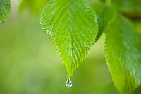 Rain drop on a leaf (thumbnail)