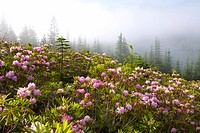 Rhododendron bushes and morning fog along Lolo Pass
