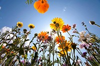 Sun and clear sky above wildflowers (thumbnail)
