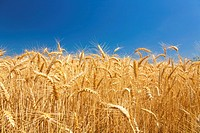 Wheat field (thumbnail)