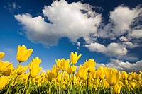 Tulips under clear sky (thumbnail)