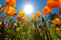 Sun shining over a meadow of poppies