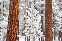 Snow covered ponderosa pine trees
