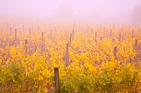 Misty vineyard in the autumn