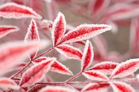 Close_up of frost on autumn leaves