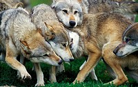 EUROPEAN WOLF canis lupus, GROUP SHOWING DOMINANCE AND SUBMISSION