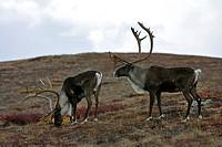Caribou bulls (Rangifer tarandus), Denali National Park, Alaska