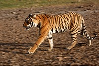 Bengal Tiger (Panthera tigris tigris), India
