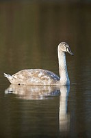Mute Swan (Cygnus olor), young