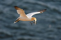 Northern Gannet Sula bassana flying, with nesting material, North Sea, Heligoland, Schleswig_Holstein, Germany, Europe