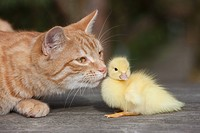 Ginger cat and duckling