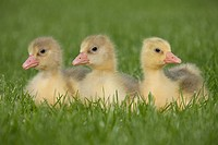 Three goslings on grass